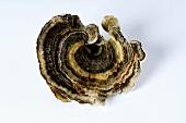 Turkey tail mushroom (medicinal fungus)