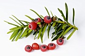 Yew sprig with fruits (Taxus baccata)
