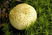 Common earthball (Scleroderma citrinum)