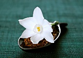 White narcissus flower on a spoonful of redbush tea