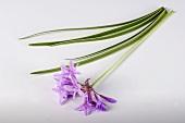 Society garlic (Tulbaghia violacea)