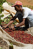 Man sorting freshly picked coffee cherries