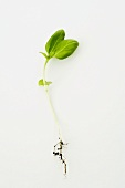 Young basil plant with roots