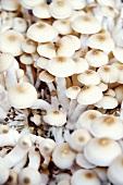 Enokitake mushrooms