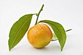 Eine unreife Mandarine mit Blättern