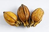 Drei Gardenie-Früchte (Gardenia jasminoides)