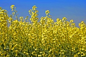 Flowering oilseed rape in the field
