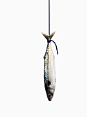 A mackerel hanging on a rope