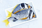 Two yellowfin seabream in a box