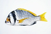 A yellowfin seabream