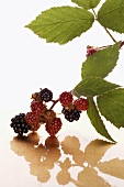Blackberry branch with blackberries