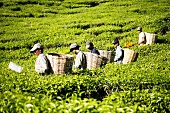 Tea pickers at work in the field, Malaysia