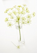 Dill flower in a glass of water
