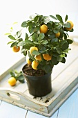 Small orange tree with fruit on a tray