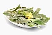 Greek mountain tea (Sideritis syriaca) in a dish
