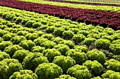 Various types of lettuce in a field