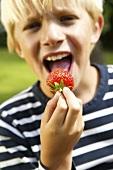 Blond boy biting into a strawberry