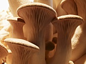 Several king oyster mushrooms