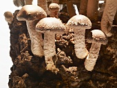 Cultivated mushrooms