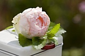 A fragrant rose with peppermint leaves