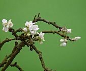 A sprig of apple blossoms against a green background