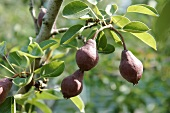 Clapp's Favourite pears on a tree