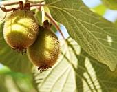 Kiwis on a tree (close up)