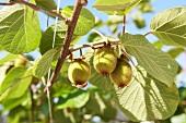 Kiwi fruits on the tree