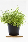 Oregano in a plastic pot
