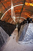 Tunnel mit Reihen von Plastiksäcken (Pilzfarm in Mexiko)
