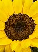 Sonnenblume (Nahaufnahme)