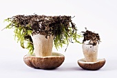 Two up-turned porcini mushrooms with soil and moss
