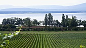 A vineyard at Lake Geneva, Switzerland