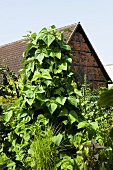 Runner beans in front of a barn