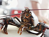 A live lobster, close-up