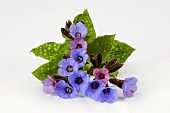 Lungwort with flowers and leaves