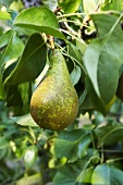 A pear on the tree