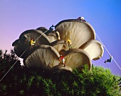 Mountaineers climbing oyster mushrooms