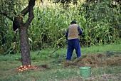 Apfelernte in Österreich