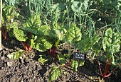 Swiss chard in vegetable bed