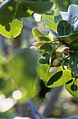 Pistachios on the tree