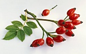 Two sprigs of rose hips