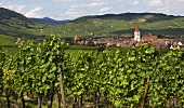 Vines in the town of Colmar in Alsace (France)