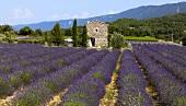 A lavender field near Vaison-La-Romaine, Provence