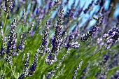 Lavender flowers (close up)