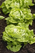 Lettuce in salad bed