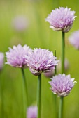 Flowering chives (close-up)