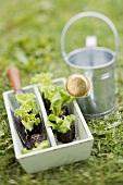 Salatpflanzen und Giesskanne im Garten