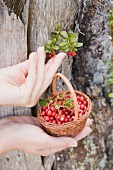 Hands holding a basket of lingon berries