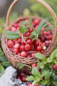 A little basket of lingon berries in a forest